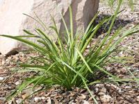 SUNGOLD™ Lomandra longfolia 'LMV100' PBR