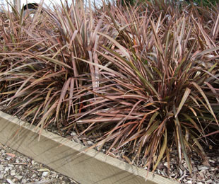 SWEET MIST® Phormium is an-ultra compact plant ideal for mass planting