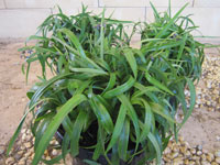 Emporium Range and Hotties Range Twisty™ Dianella congesta 'DCT500' PBR