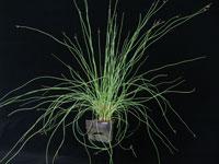TWIZZLER™ Lepironia articulata