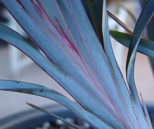 UTOPIA® Dianella is a drought tolerant plant with amazing blue, purple and green foliage