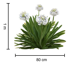 Cloudy Days Agapanthus Has Glossy Green Strappy Foliage With