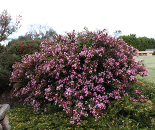 Cosmic Pink Rhaphiolepis Is A Compact Shrub With Larger Pink