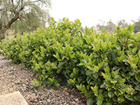 Hardy Exotic Range DENSE FENCE™ Viburnum odoratissimum 'VOC1' PBR
