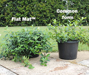 FLAT MAT™ Trachelospermum asiaticum 'FT01' PBR