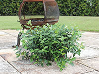 Hardy Exotic Range FLAT MAT™ Trachelospermum asiaticum 'FT01' PBR