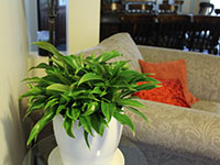 Hardy Exotic Range LITTLE PHIL™ Philodendron species 'PHIL01' PBR