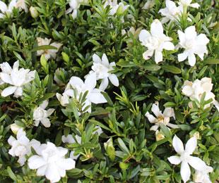 O SO FINE™ Gardenia augusta 'Ken04' PBR