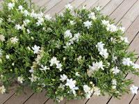 O SO FINE Gardenia radicans 'KEN04' PBR intended