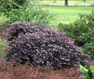 PURPLE PIXIE™ is a cold hardy, drought tolerant Loropetalum