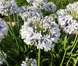 QUEEN MUM™ is an Agapanthus with extra large white and blue flower heads