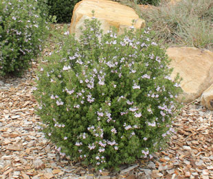 OZBREED AUSSIE BOX® Westringia is a native box hedge plant with mauve flowers and a dense growth habit