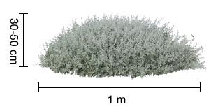 AUSSIE FLAT BUSH™ Rhagodia dimensions