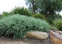 AUSSIE FLAT BUSH™ Rhagodia spinescens 'SAB01' PBR