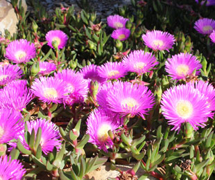 AUSSIE RAMBLER™ Carpobrotus, commonly called Pigface