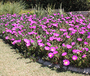 AUSSIE RAMBLER™ Carpobrotus is ideal for coastal and inland plantings