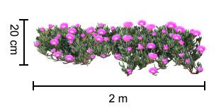 AUSSIE RAMBLER™ Carpobrotus dimensions