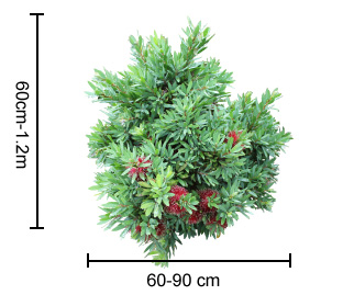 BETTER JOHN™ Callistemon dimensions