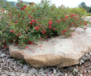 CHERRY CLUSTER™ Grevillea rhyolitica x juniperina ' TWD01' PBR