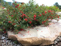 CHERRY CLUSTER™ Grevillea rhyolitica x juniperina 'TWD01' PBR
