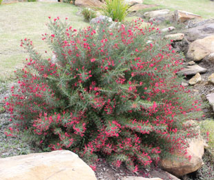 CRIMSON VILLEA™ Grevillea is a compact shrub with masses of crimson flowers