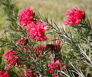 CRIMSON VILLEA™ Grevillea has an abundance of crimson flowers in autumn