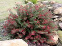 CRIMSON VILLEA Grevillea rosmarinifolia PBR
