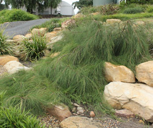 FREE FALL™ Casuarina is a long lived and low maintenance ground cover