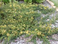 GOLD CLUSTER Grevillea juniperina 'H22' PBR