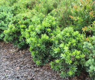GREEN JOHN™ Callistemon viminalis 'LJ23' PBR