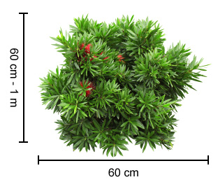 GREEN JOHN™ Callistemon dimensions
