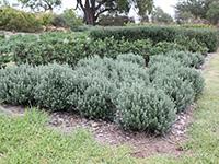 GREY BOX™ Westringia fruticosa 'WES04' PBR