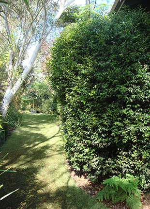 HOBBIT™ Syzygium makes a great screening hedge with no pruning