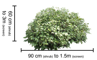 HOBBIT™ Syzygium dimensions
