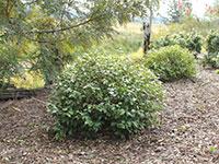 HOBBIT™ Syzygium francisii 'DBK01' PBR