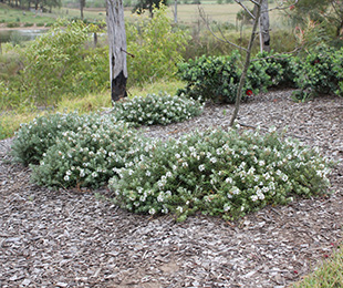 LOW HORIZON™ Westringia is lowest maintenance ground cover Westringia