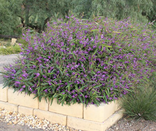 MEEMA™ Hardenbergia is a longer lived shrubby groundcover plant