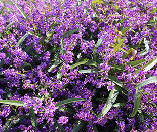 MEEMA™ Hardenbergia is a great ground cover feature