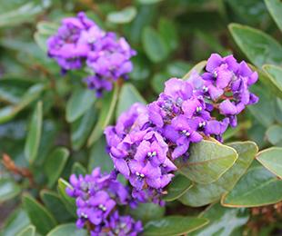 MINI MEEMA™ Hardenbergia produces masses of purple flowers
