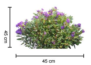 MINI MEEMA™ Hardenbergia dimensions