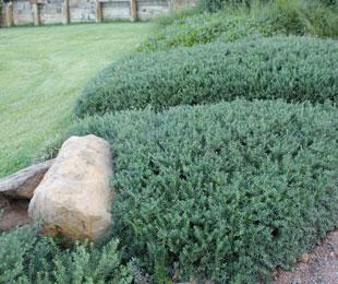 MUNDI™ Westringia fruticosa 'WES05' PBR