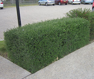 NARINGA™ is the best hedging form of Westringia