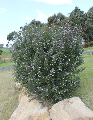 NARINGA™ Westringia has a tidier form and requires less pruning