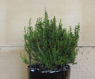 Ocean Reef™ Hibbertia is compact with glossy green leaves