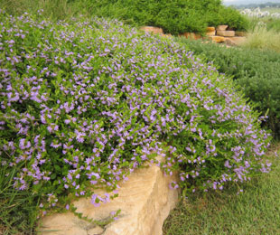 Purple Fusion Scaevola Is A Groundcover Plant With An Abundance Of