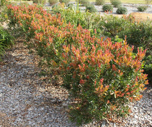 RED ALERT™ is a compact Callistemon with deep red new growth