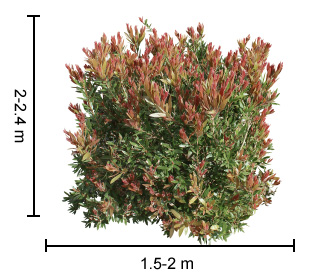 RED ALERT™ Callistemon dimensions