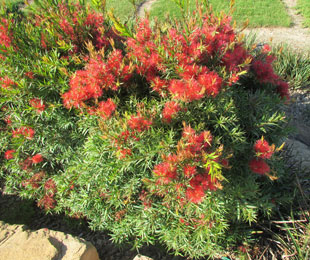 SCARLET FLAME™ Callistemon is compact with red new growth