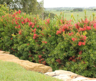 SCARLET FLAME™ Callistemon is self cleaning and has show red flowers