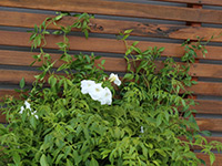SLENDER BELLS WHITE™ Pandorea jasminoides 'PJ01' PBR